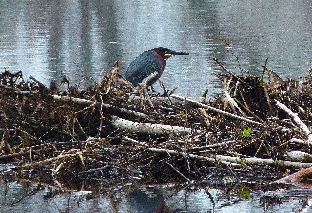 heron vert - L'estuaire de Rivulet terre rouge